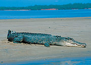 Saltwater crocodile on a beach in Darwin, NT.jpg